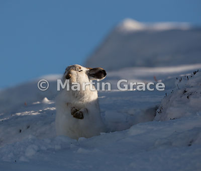 Mountain Hare (Arctic Hare) (Lepus timidus) sunbathing in snow, February 13, Strathdearn, Scottish Highlands