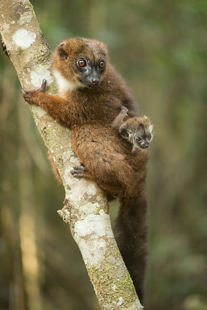 Red Bellied Lemur Mother & Baby
