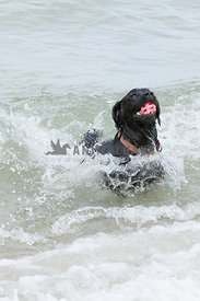 Black lab running out of ocean with pink ball in his mouth.