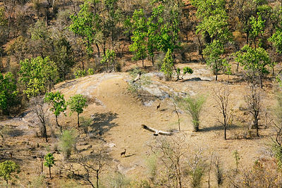 Aerial view over Bandhavgarh National Park, India,.with Vultures flying and Sambar deer, forest with semi evergreen Sal trees...