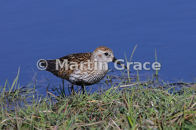 Dunlin (Calidris alpina) by fresh-water pool, Hermaness National Nature Reserve, Unst, Shetland