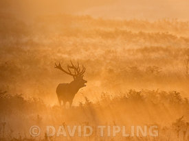 Red Deer Cervus elaphus stag during rut Richmond Park London October