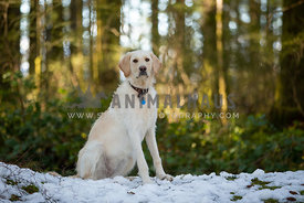 Yellow labradoodle dog sitting in snow in the forest