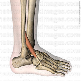 lowerleg-musculus-peroneus-tertius-fibularis-muscle-tendon-metatarsi-v-fibula-lateral-side-skin