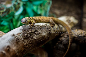 spiny tailed monitor lizard on branch