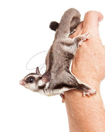 Sugar Glider on Hand of a Man