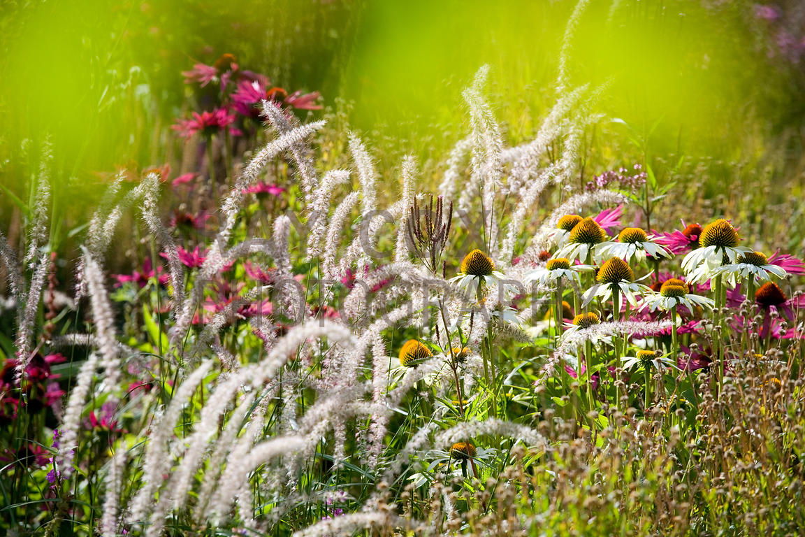 Echinacea, Actaea, cimicifuga etc in early-flowering area, walled Garden