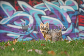 yorkie standing in front of grafitti