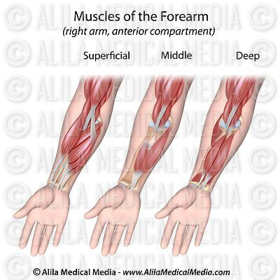 Forearm muscles layers unlabeled.