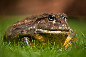 close up of pixie african bullfrog in grass