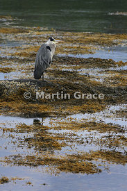 Grey Heron (Ardea cinerea) standing in seaweed at the edge of Loch Spelve, Isle of Mull, Scotland