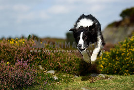 Border Collie action shot jumping over heather