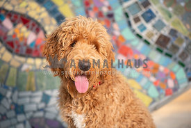 close up of panting golden doodle sitting in front of colorful wall