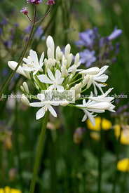 Agapanthus spp., (agapanthe), African lily, Lily of the Nile, Alliaceae, Amaryllidaceae, Vivace rhizomateuse, Port compact, F...