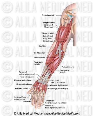 Muscles of the arm, labeled.