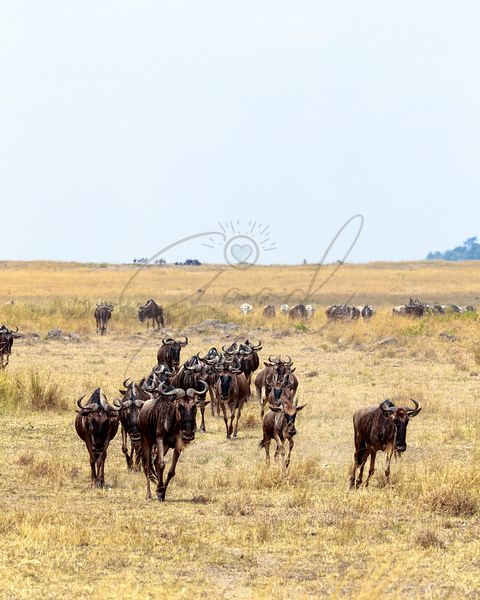 Wildebeest Running Through Field in Africa