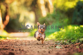 yorkshire terrier puppy running down path