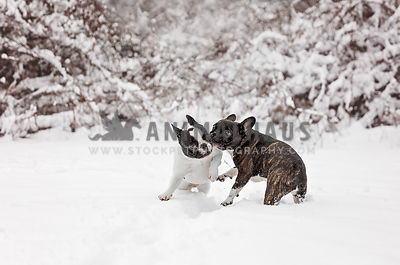 two french bulldogs play fighting in the snow