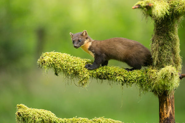 A decent daylight Pine Marten photo, at last!