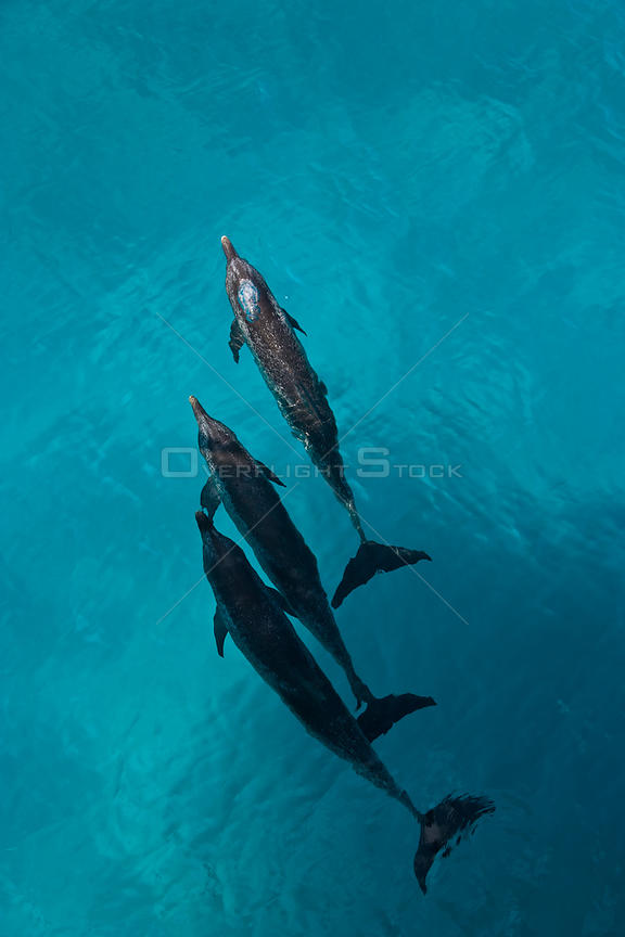 Looking down on Atlantic spotted dolphin {Stenella frontalis} at surface, Bahamas, Caribbean