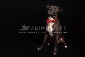 Handsome black pitbull dog wearing red bow tie in studio portrait