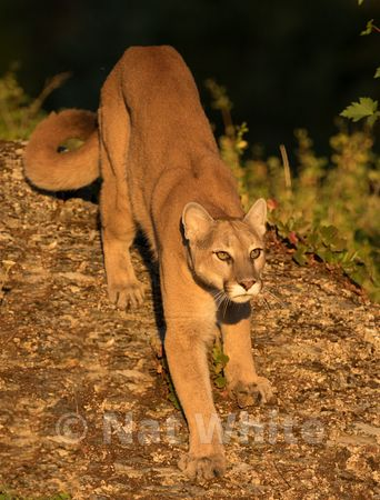 Cougar-Triple_D_wildlife-22017-232-July_31_2017