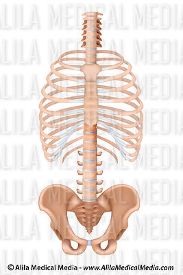 Ribcage shown with spine and pelvis