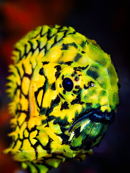 Pineconefish- Yellow fish picture focus