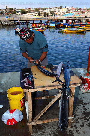 Fisherman cutting up freshly caught snoek ( Thyrsites atun ) , Caldera , Region III , Chile