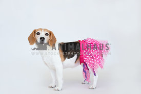 beagle wearing tutu with white backdrop
