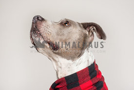 Profile of a grey dog looking up in red scarf
