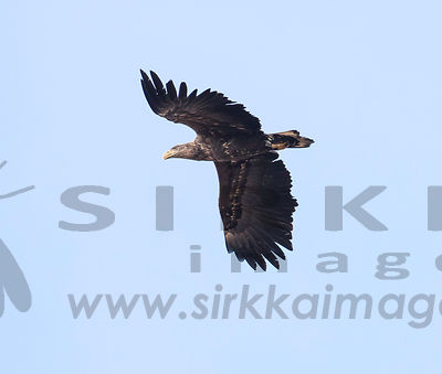 White-tailed eagle hunting Barnacle geese