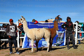 Owners wait with their llamas during competition, Curahuara de Carangas, Bolivia