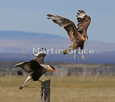 An adult Southern Crested Caracara (Southern Caracara, Carancho) (Caracara plancus) displaces a juvenile from a fence post, P...