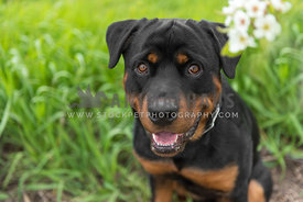 Rottweiler puppy in long grass peeking up through white blossoms