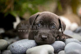 puppy laying on rocks with eye contact