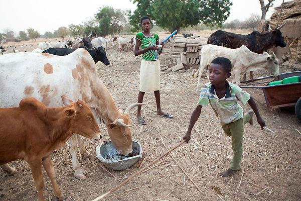 Mohamadi, 10 ans s'occupant de nourrir les vaches le soir, Ponsom Tenga, Burkina Faso / Mohamadi, 10 years old feeding cows i...