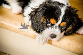 King Charles Cavalier Spaniel puppy lying down on porch