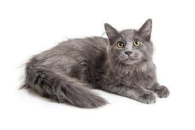 Pretty Longhair Grey Domestic Cat Lying Down