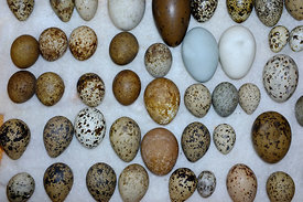 A selection of British Birds eggs from Victorian collection
