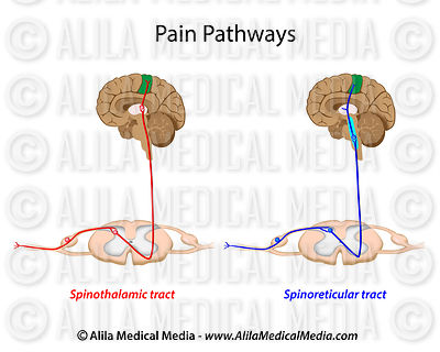 Pain pathways unlabeled