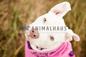white pitbull puppy with pink bandana looking up in grass