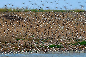 Eurasian Oystercatcher Haematopus ostralegus moving restlessly at high tide roost Snettisham on the Wash Norfolk