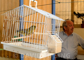 Greenfinch Carduelis chloris singing in cage Malta