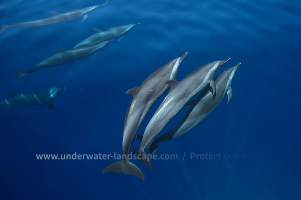 Spinner dolphins and Pantropical spotted dolphin