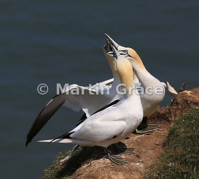 Four adult Northern Gannets (Morus bassanus) displaying together within the nesting colony, Bempton Cliffs (RSPB), East Ridin...
