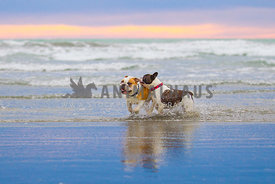 bulldogs playing on the beach