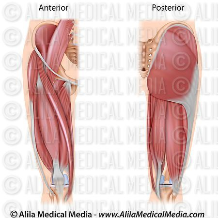 Muscles of the thigh, both sides