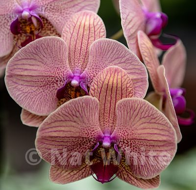 Orchid_phalaenopsis-9567_October_07_2018_NAT_WHITE