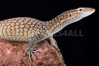 Freckled tree monitor (Varanus tristis orientalis)